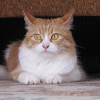 Майка пушистая - рыже- белая кошечка