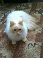 Незабудка - кошка-голубоглазка окраса РЕД ПОИНТ