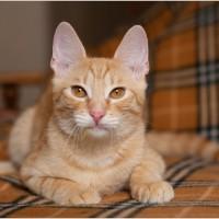 Симон - рыжий лис