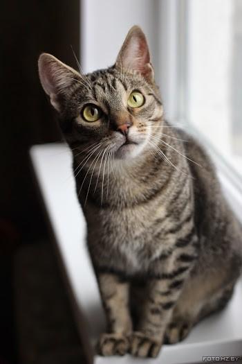 Кот тигристый