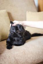 Кузьма Лермонтов - шоколадный красавец с кисточками на ушах