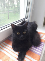 Чикита - черненькая, пушистенькая кнопка-кошка