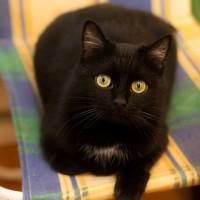 Нора - грациозная черная кошка