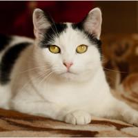 Вэлери - умненькая черно-белая кошка
