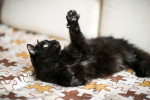 Плюша Пушистый - черный очаровашка