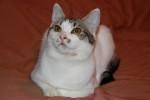 Белка-2 - бело-серая кошечка