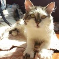 Воркот - добрый, уравновешенный, замечательный во всем кот