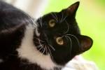 Вупи - чёрно-белая кошка-скромница