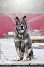 Норис - добрый и преданный пес