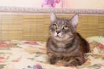 Казимир - тигровый красавец