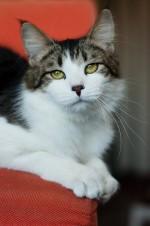 Тимошенька - кот-ласкушка, каких поискать