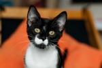 Брамс - черно-белый котёнок Royal