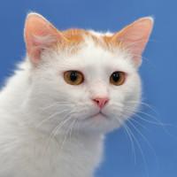 Юмбрик Замечательный - молодой бело-рыжий красавец