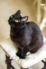 Киншаса - кошка-ночь с глазами-звездами