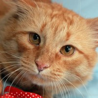 Гинтарас - ласковый рыжий кот