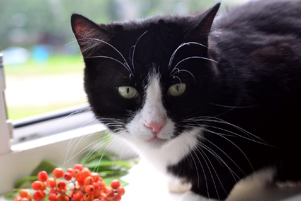 Красивый черно белый кот