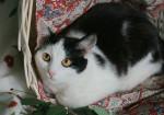Клео - ласковая и скромная кошечка