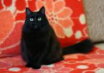 Дюймовочка черная - миниатюрная красавица