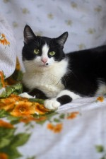 Дэйзи - черно-белая кошка