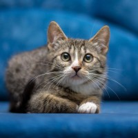 Монтик Алтайский - полосатый чудо-кот
