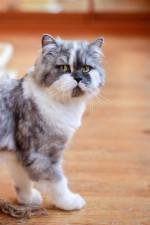 Франчело - кот породы селкирк страйт