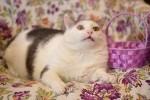 Бегемот Белый - крупный спокойный кот,белый с серыми пятнами