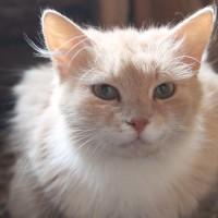 Элис-рыжая - кошечка милашечкка