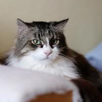 Василий Серебрянский - крупный пушистый котик