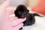 Кашемир - черная личинка кота