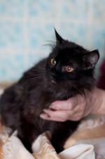 Кузенька - пушистый черный кот