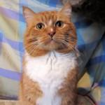 Каштан - рыжий-рыжий конопатый котяра