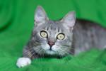 Савой - роскошный котик