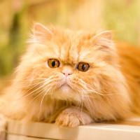 Гюнешик - рыжее персидское солнышко