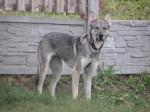 Вира - красивая собака, стерилизована
