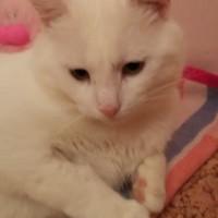Снежок Слободской - крупный молодой котяра