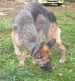 Кира - немецкая овчарка
