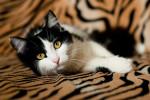 Флорет - черно-белое пушистое очарование