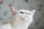 Софи Марсо - белоснежная голубоглазая трехцветка)