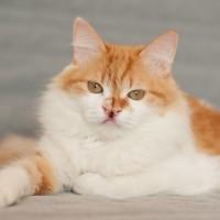 Эльф - самый необычно-необыкновенный котенок