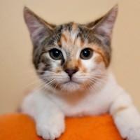 Бенфика - шустрая девчушка трёхцветного окраса